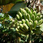 バナナコインとコピ・ルアック