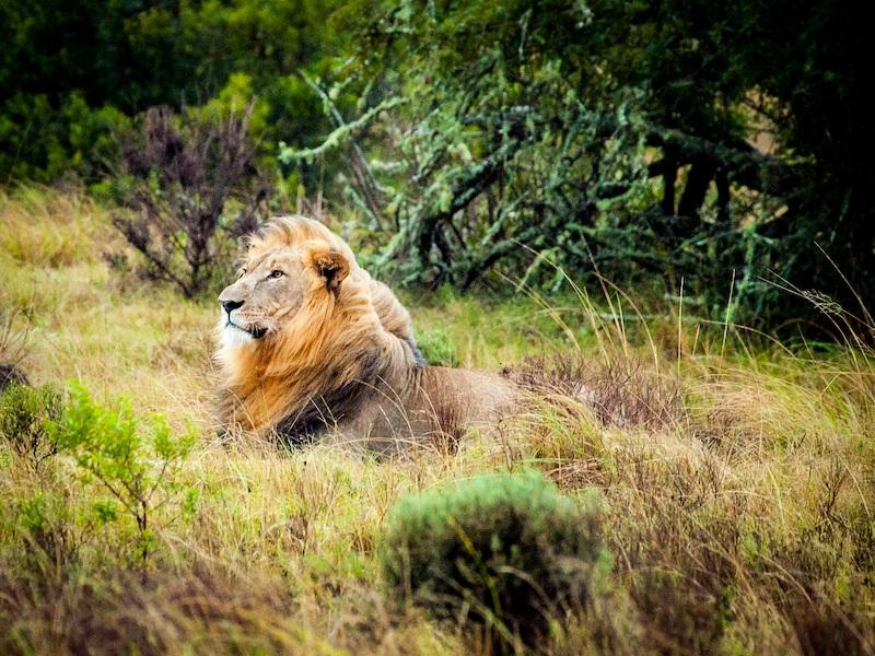 アイキャッチ:ライオン